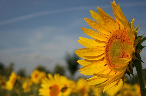 El girasol, símbolo de la arquitectura bioclimática